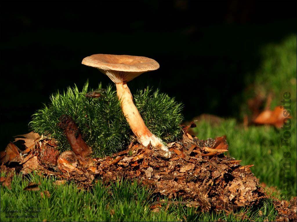 Paddestoel wallpaper-Mushroom Wallpaper
