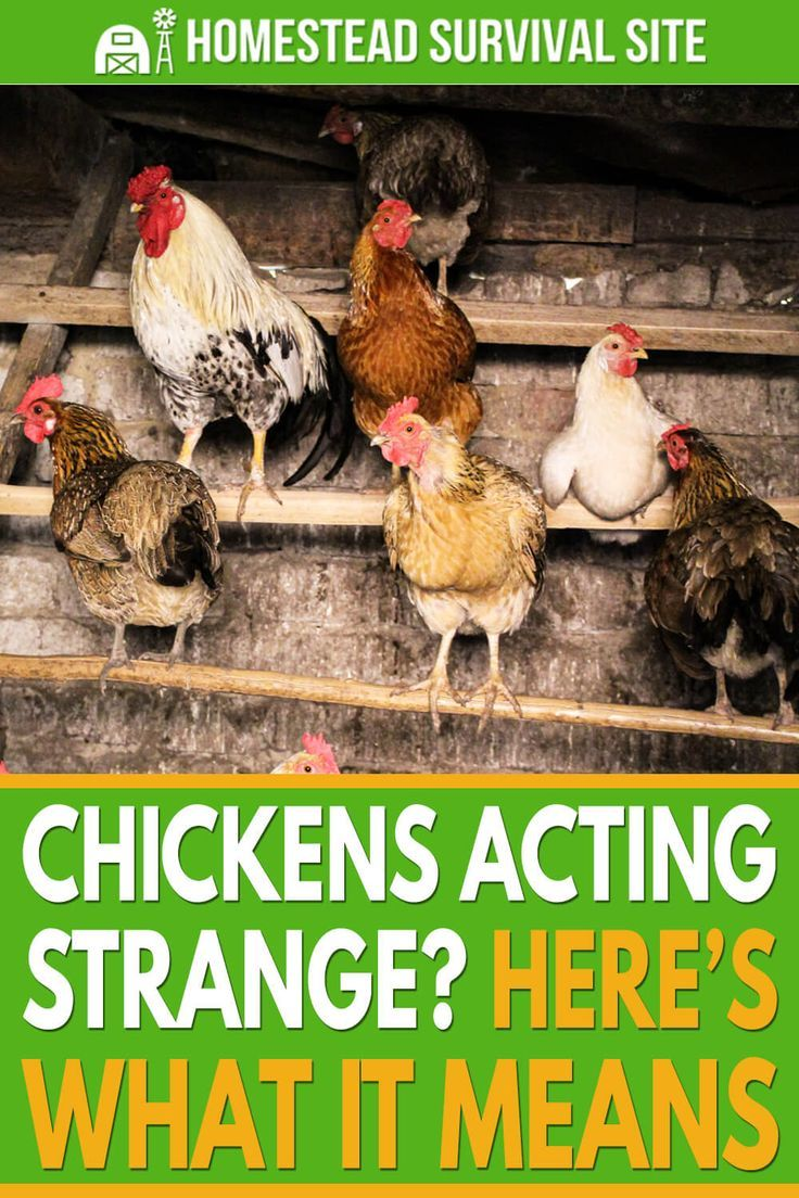 Chickens Acting Strange? Here's What It Means - Homestead ...