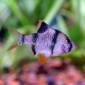 Tropical Fish For Freshwater Aquariums Tiger Barb Tank