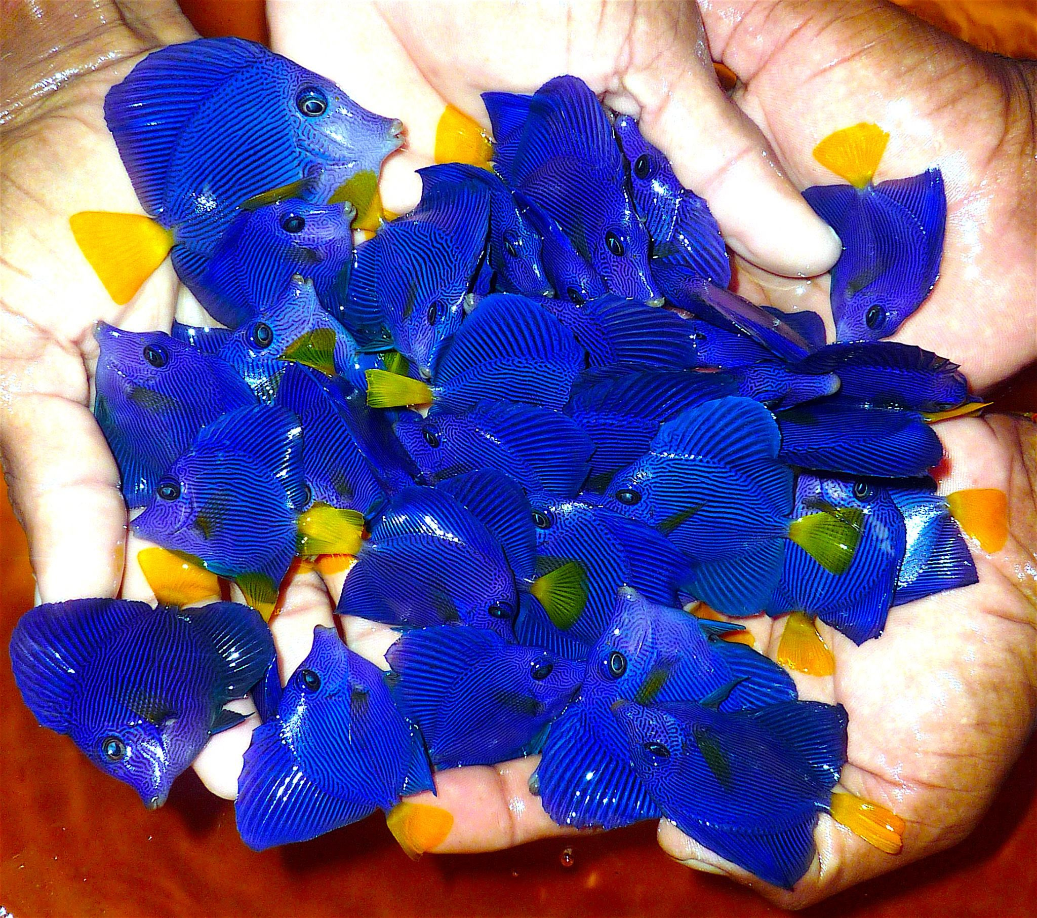Aquarium fish tank sri lanka -  Tank Raised Purple Tangs Coming Soon From Sri Lanka Featured Surgeonfish Reef Builders