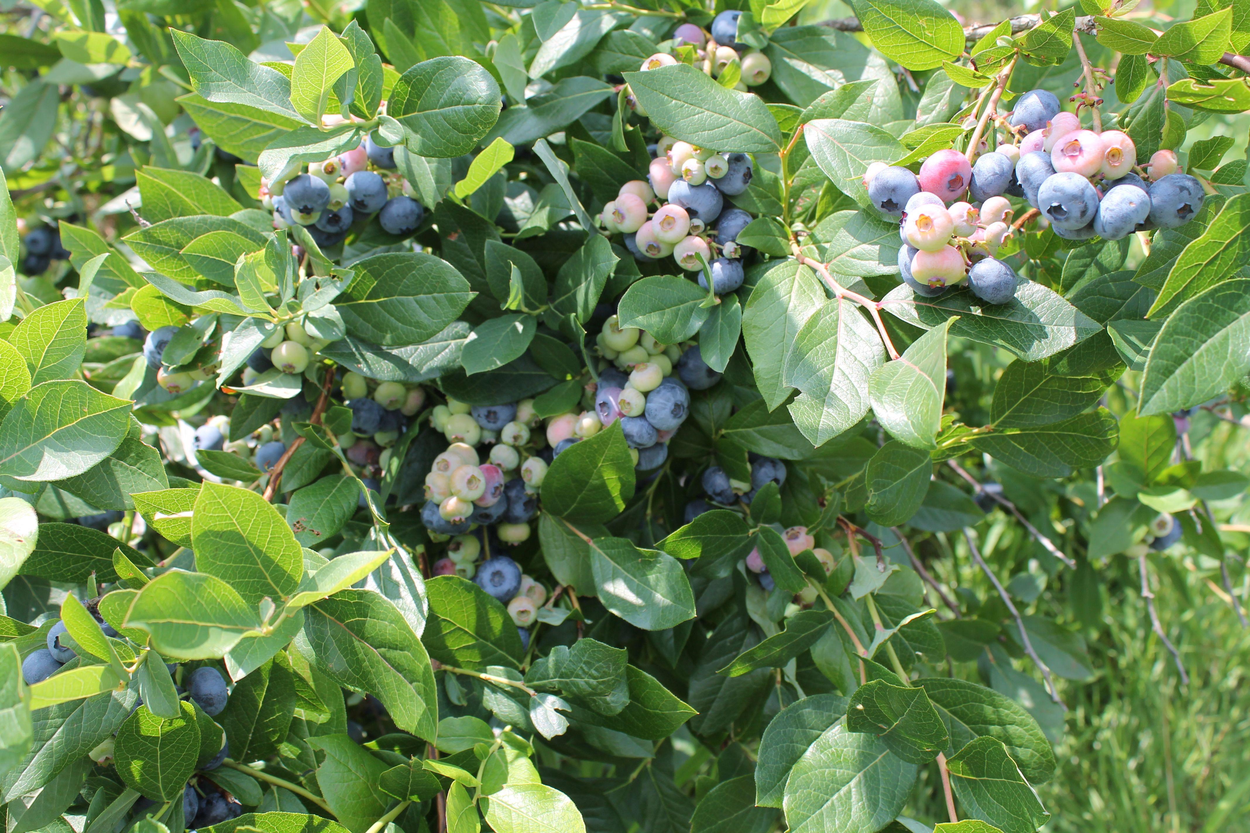 Brown's Beautiful Blueberries   Harvesting Plan B