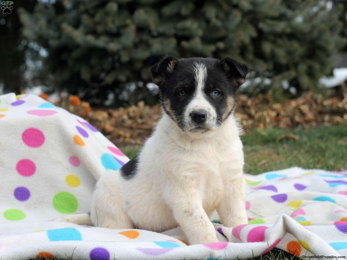 sheprador puppies for sale in virginia