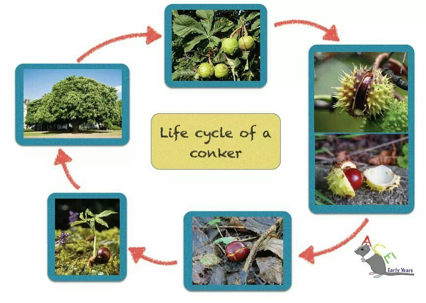 Life cycle of a conker poster. To help explain why a horse chestnut tree grows conkers! #eyfs #earlyyears #earlyyearsscience #aceearlyyears