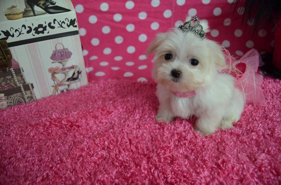 Maltese Puppy For Sale In Cedar Park Tx Adn 43827 On Puppyfinder