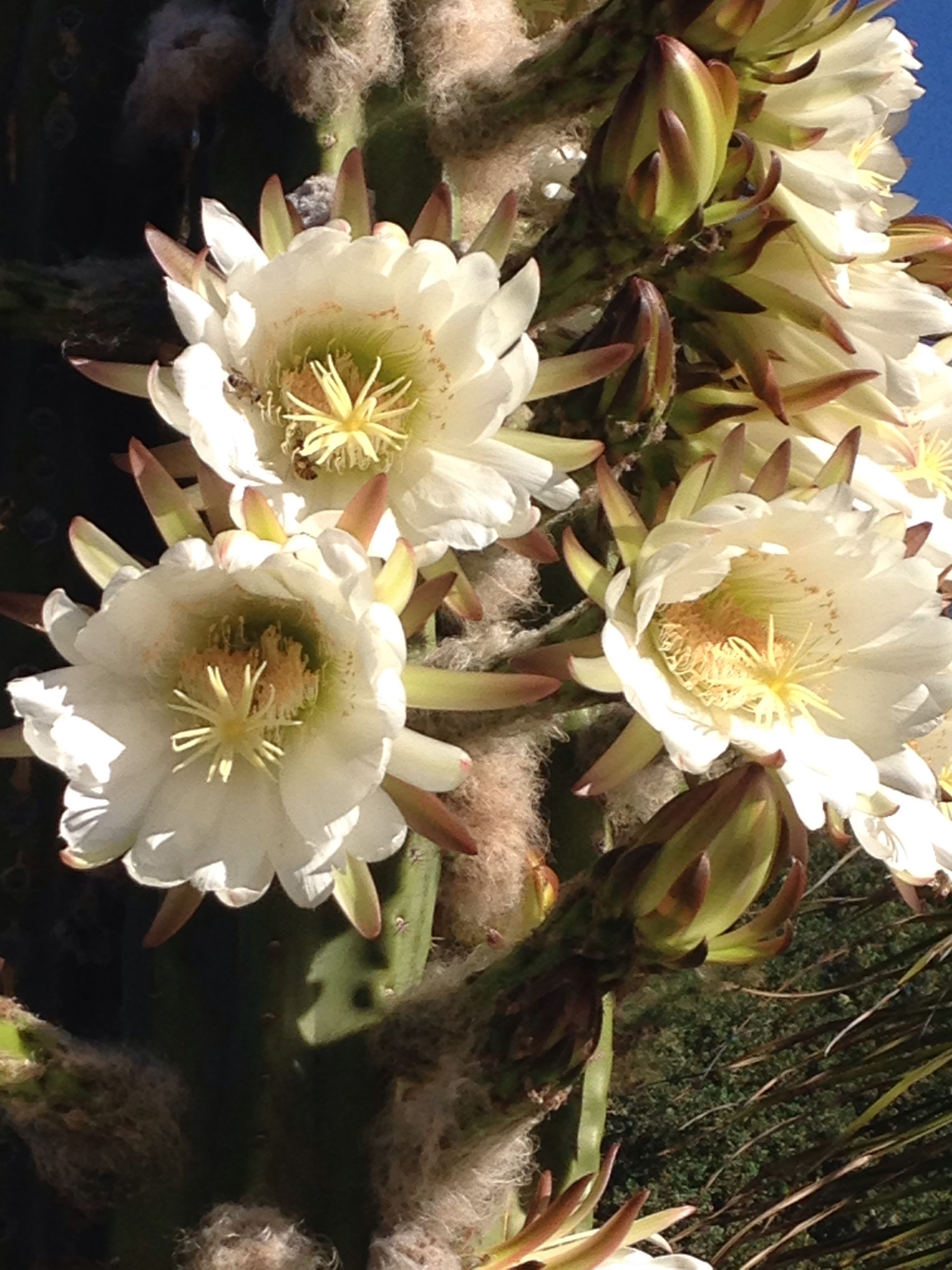 Flowering Cactus With Images