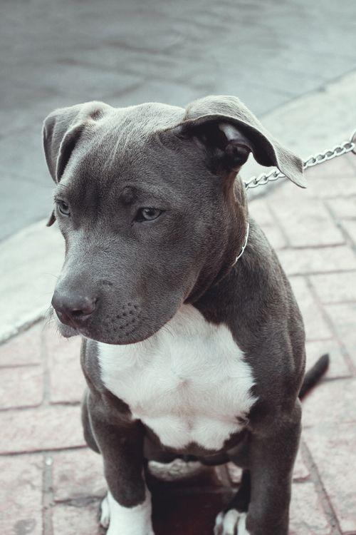 Grey Blue American Pit Bull Terrier