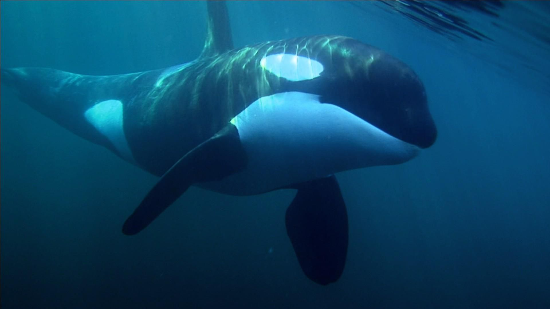 Animal orca killer whale space wallpaper orcas pinterest 1600900 animal orca killer whale space wallpaper orcas pinterest 1600900 pictures of killer whales wallpapers 49 wallpapers adorable wallpapers altavistaventures Gallery