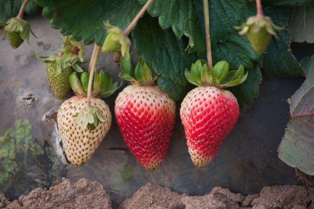 Companion Planting For Strawberries Companion Planting 400 x 300