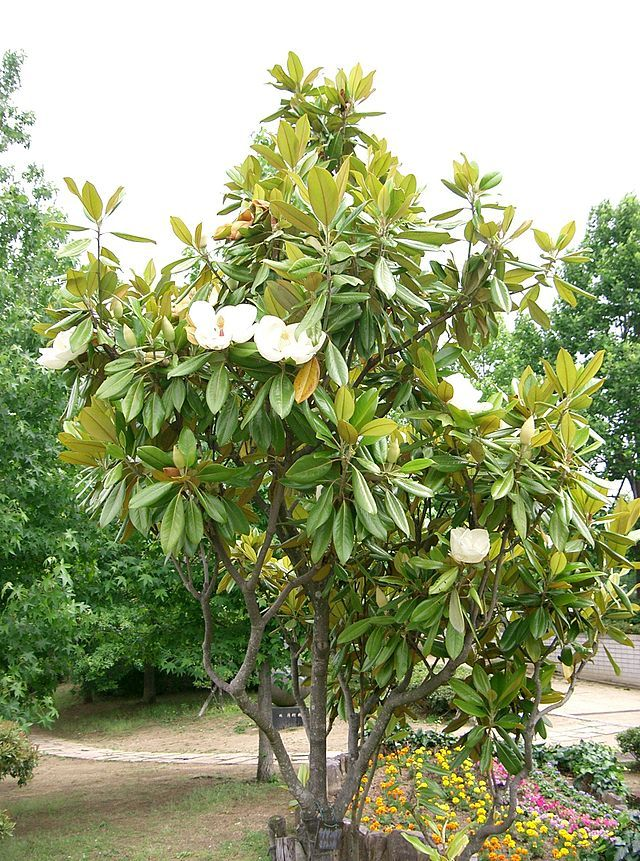 Magnolia Grandiflora Great Tree But Not Worth Forgoing A Pool To