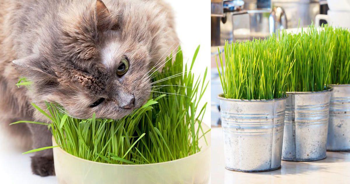 Growing Cat Grass Indoors Cat grass, Cat grass indoor