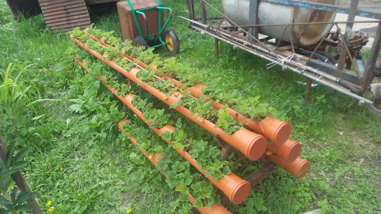 Erdbeeren Im Rohr Pflanzen Bauanleitung Fur Ein Erdbeerrohr Erdbeeren Garten Hydrokultur Garten Garten Pflanzen