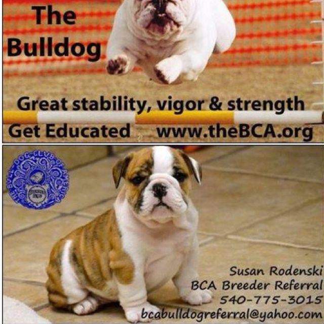 Bulldog Club Of America Breeder Referral Information Before You