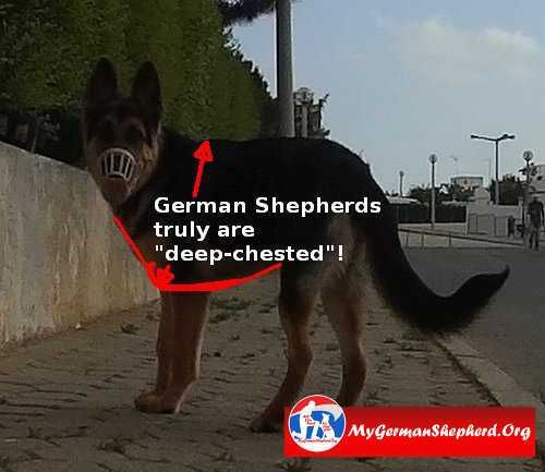 Deep Chested Meaning Dog Facts Shepherd Book Original German