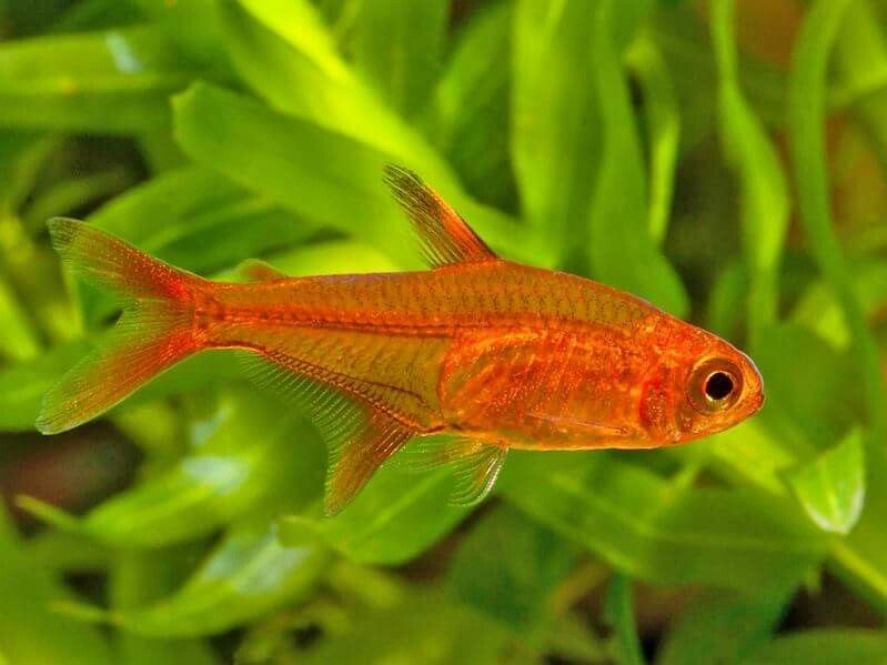 Amber Tetra Aquarium Fish Tetra Fish Fish
