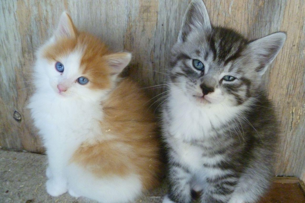 Norwegians Norwegian Forest Cat Kitten For Sale Cats