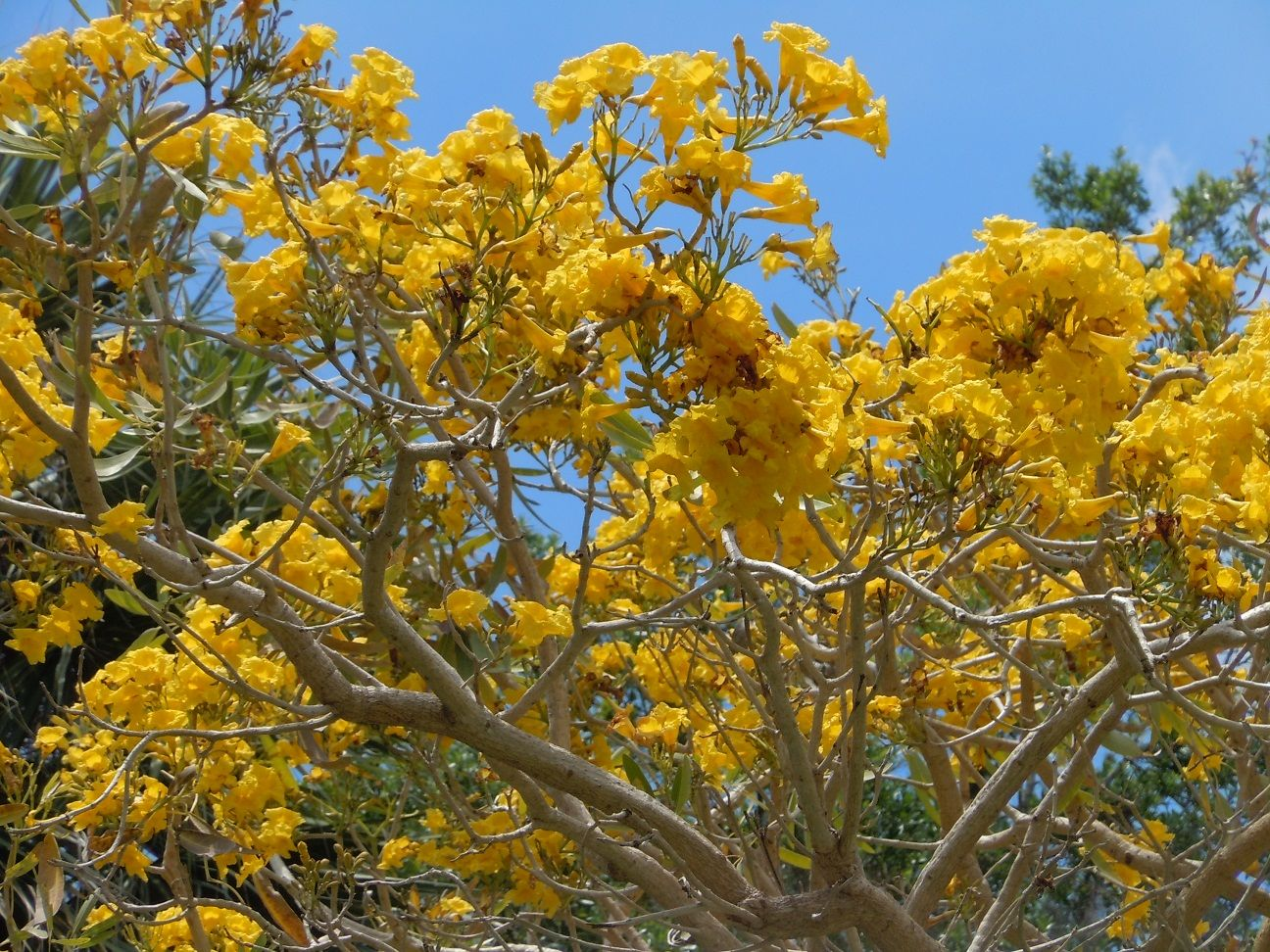 Bright yellow tabebuia chrysantha blooms on a tree along