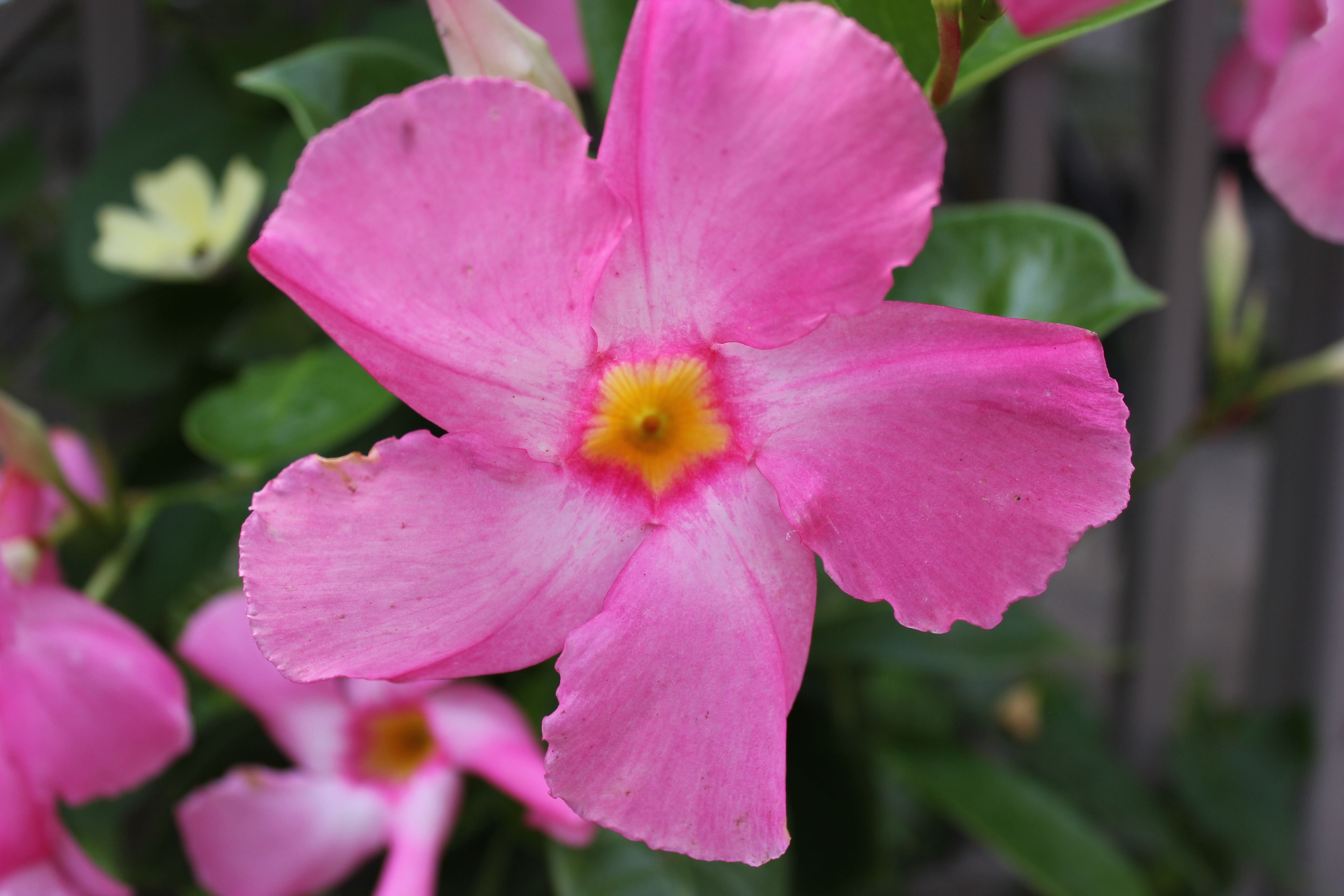 Sun Parasol Giant Pink Mandevilla Blooms Theme Gardens At The