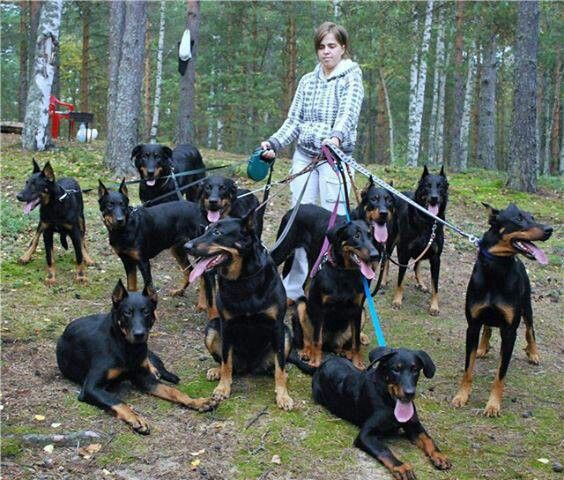 These are very nice looking Beaucerons(I think) She is one lucky lady to be with them!! ♥♥♥♥♥♥♥♥♥♥♥♥