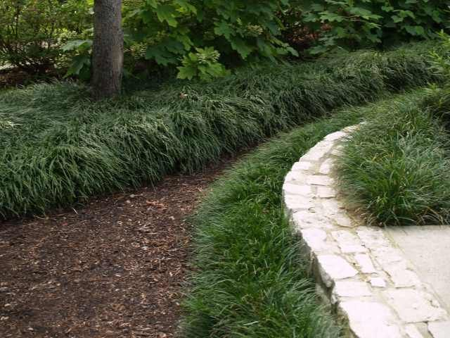 Mondo grass perennial up to 12 high dwarf variety gets for Border grasses for landscaping