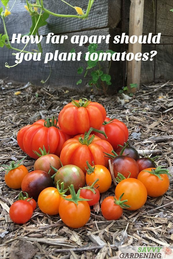 How Far Apart to Plant Tomatoes in a Vegetable Garden | Tomato vine, Vegetable garden design ...