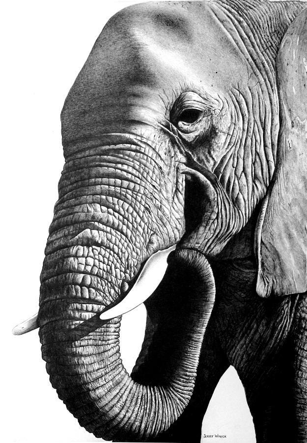 Elephant Drawing  - Elephant Fine Art Print