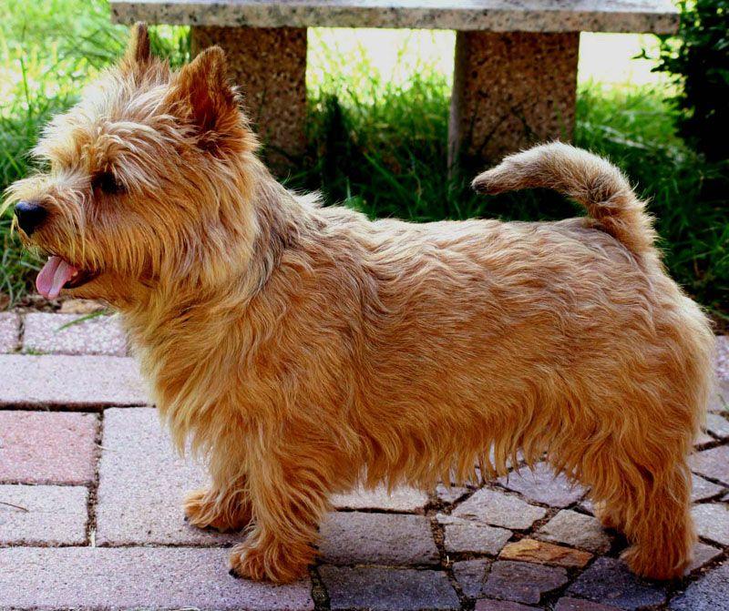 Cutest breed ever. | Norwich terrier, Terrier, Norwich