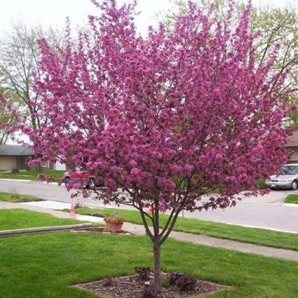Perfect purple crabapple tree has purple foliage dark pink spring perfect purple crabapple tree has purple foliage dark pink spring flowers purplered fruits and should get about 20x20 at maturity fall color is red mightylinksfo