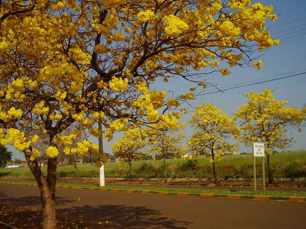 Três de Maio, RS - Ipês Amarelos