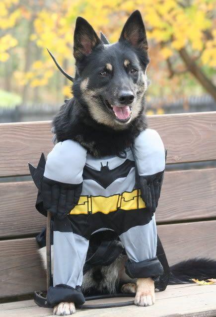 German Shepherd Male Insists On Wearing A Batman Outfit