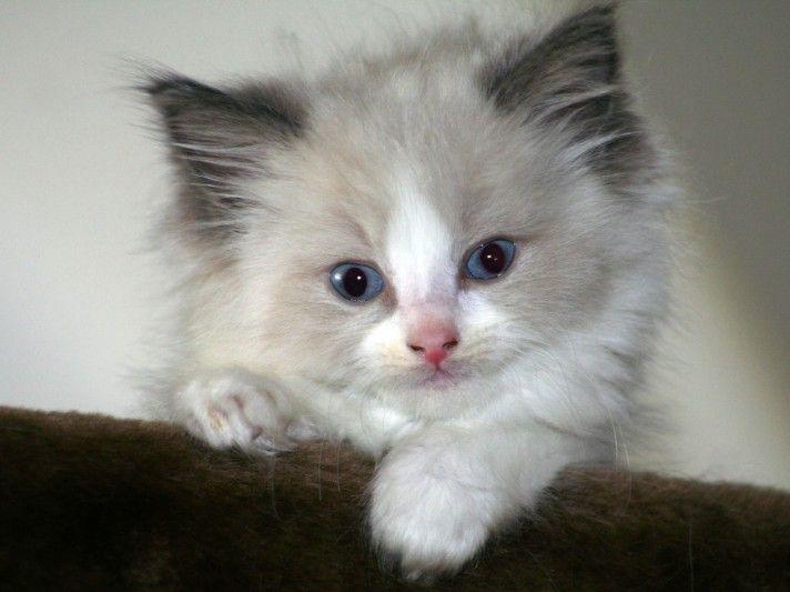 Photos Ragdoll Cats