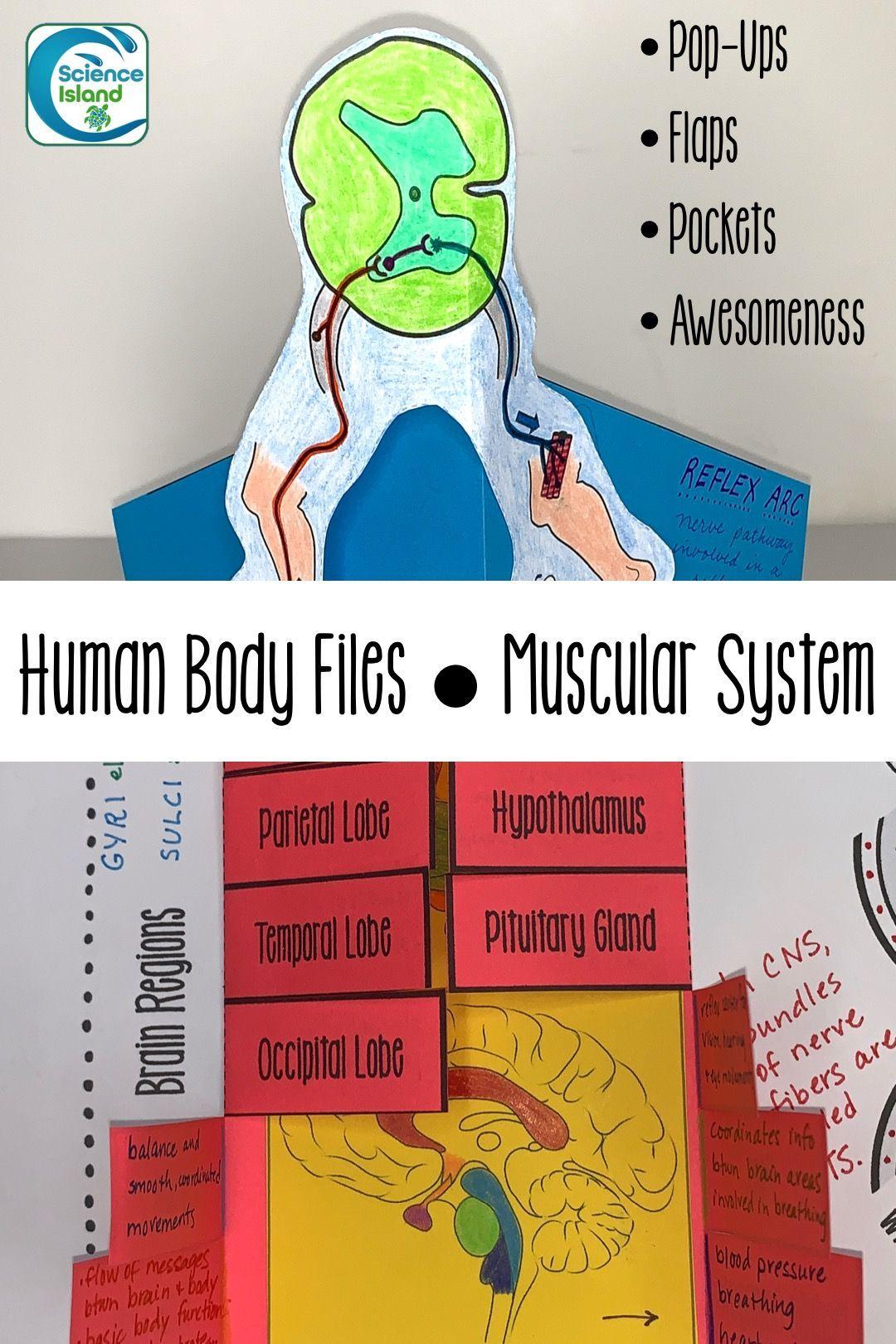 Nervous System Human Body Files