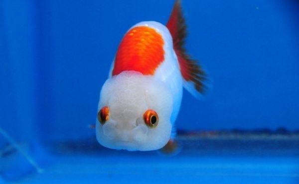 Ranchu Gold Fish 183 Goldfish Cool Fish Oranda Goldfish