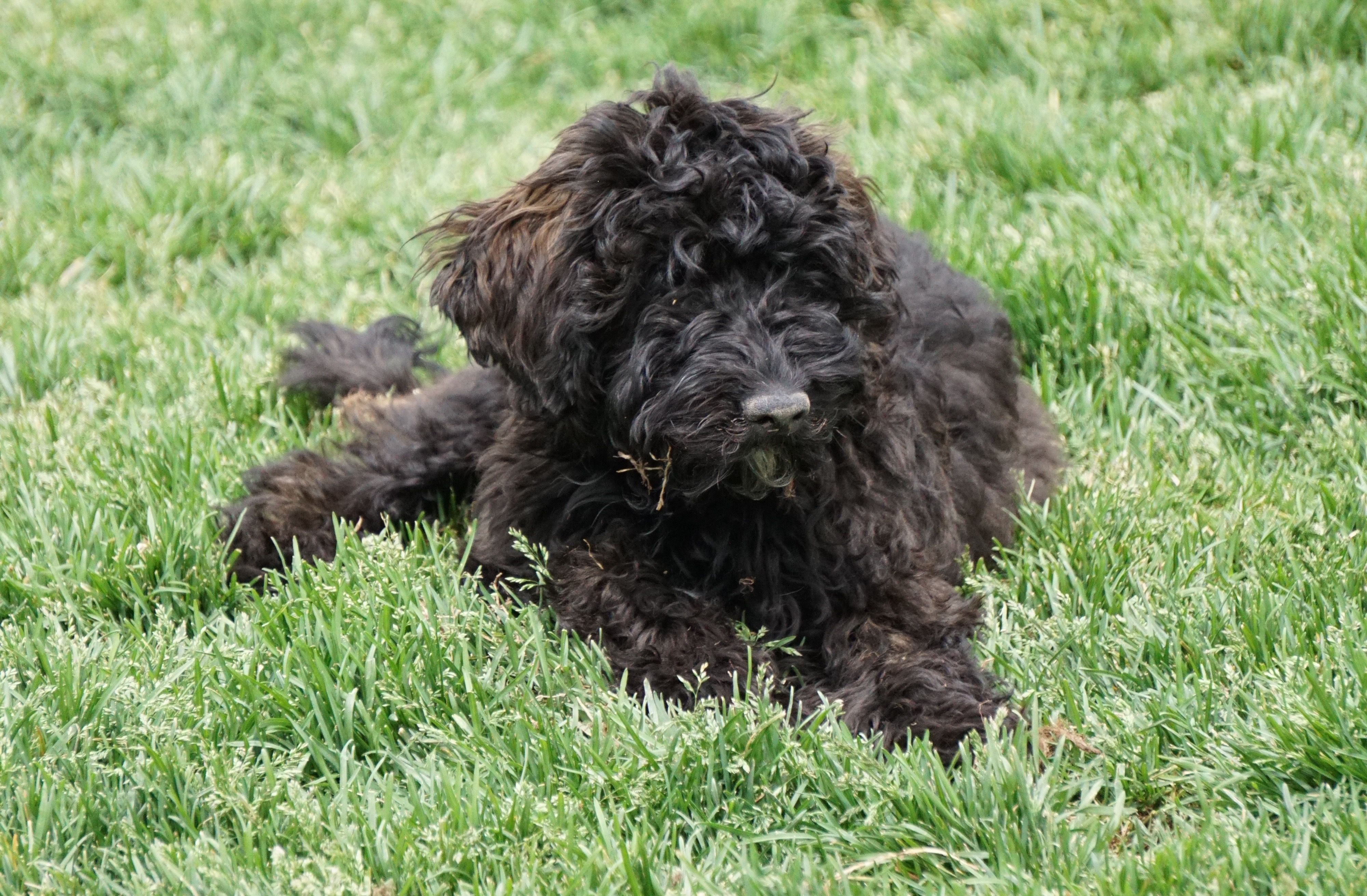 Black Sable Australian Labradoodle Future Stud Labradoodle Australian Labradoodle New Puppy