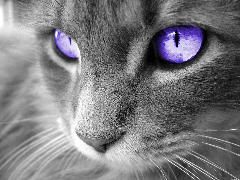 Purple Eyes! http//ift.tt/2dw0af2 Purple cat, Cat