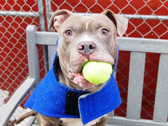 TO BE DESTROYED - 02/17/15 Manhattan Center -P My name is COOPER. My Animal ID # is A1024860. I am a male brown and white pit bull mix. The shelter thinks I am about 2 YEARS old. I came in the shelter as a STRAY on 01/06/2015 from NY 10303, owner surrender reason stated was ABANDON https://www.facebook.com/photo.php?fbid=963241090355437