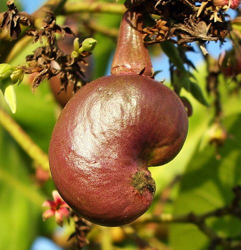 Grow Tasty Cashews Right On The Patio With This Super Easy Tree The Ultimate Edible Ornamental The Cashew Is The Kin Fruit Plants Cashew Tree Ornamental Trees
