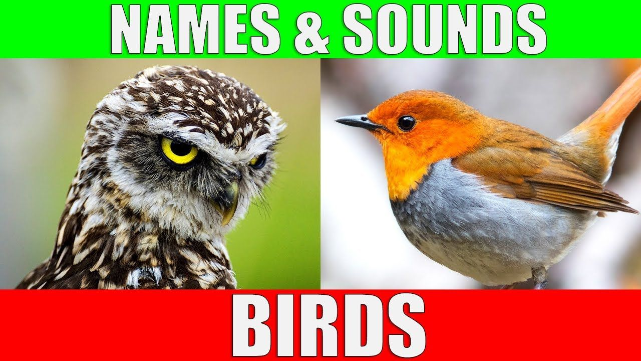 BIRDS Names and Sounds Learn Bird Species in English