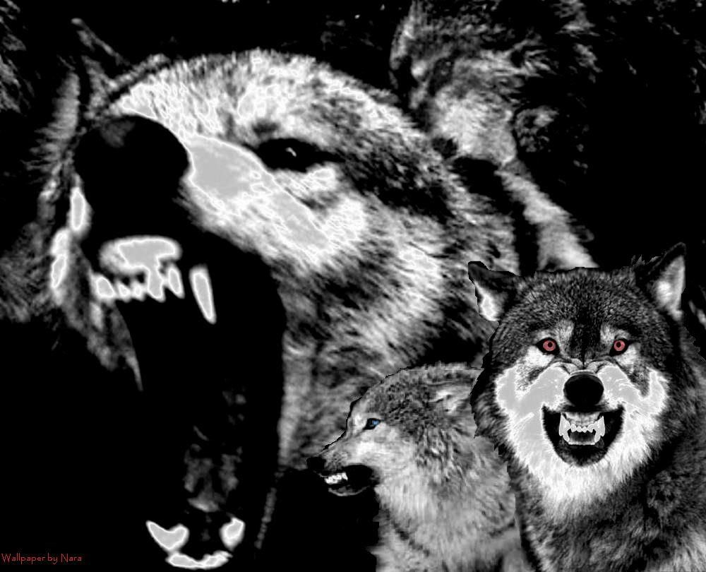 Snarling Wolves Wallpaper By Naravo