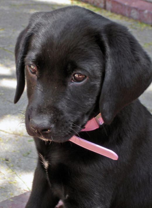 Labrador retriever rescue victoria australia