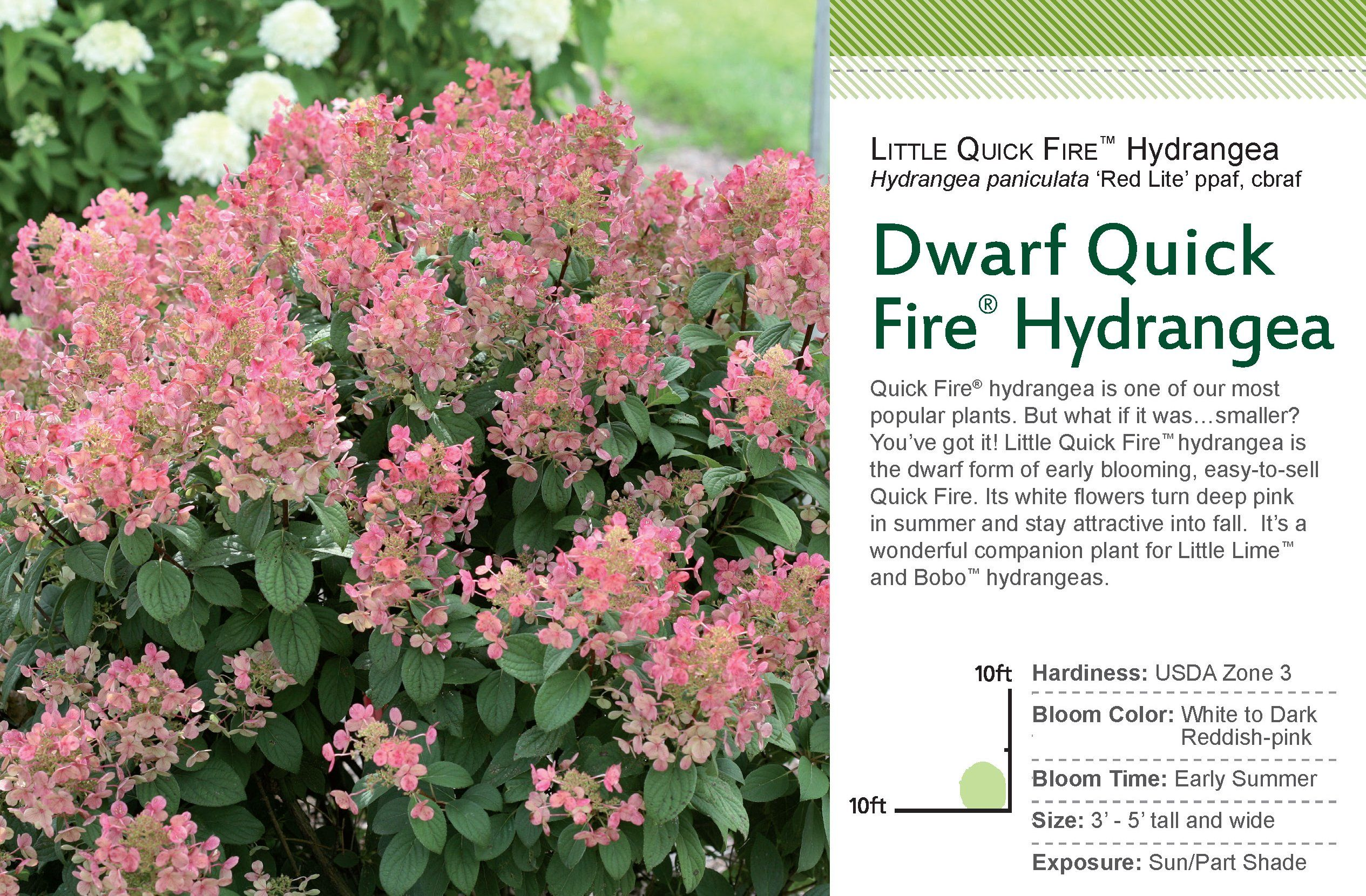 New Hydrangea Little Quickfire Is Perfect For Todays Gardens What