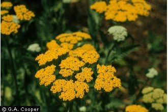 Achillea Filipendulina Lam Fernleaf Yarrow Attracts Lacewings Which Feed On Mites Other Small Insects And Insect Eggs Wildflower Garden Achillea Yarrow