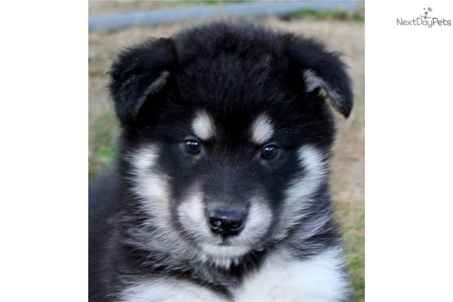 Alaskan malamute for sale alaskan malamute puppies
