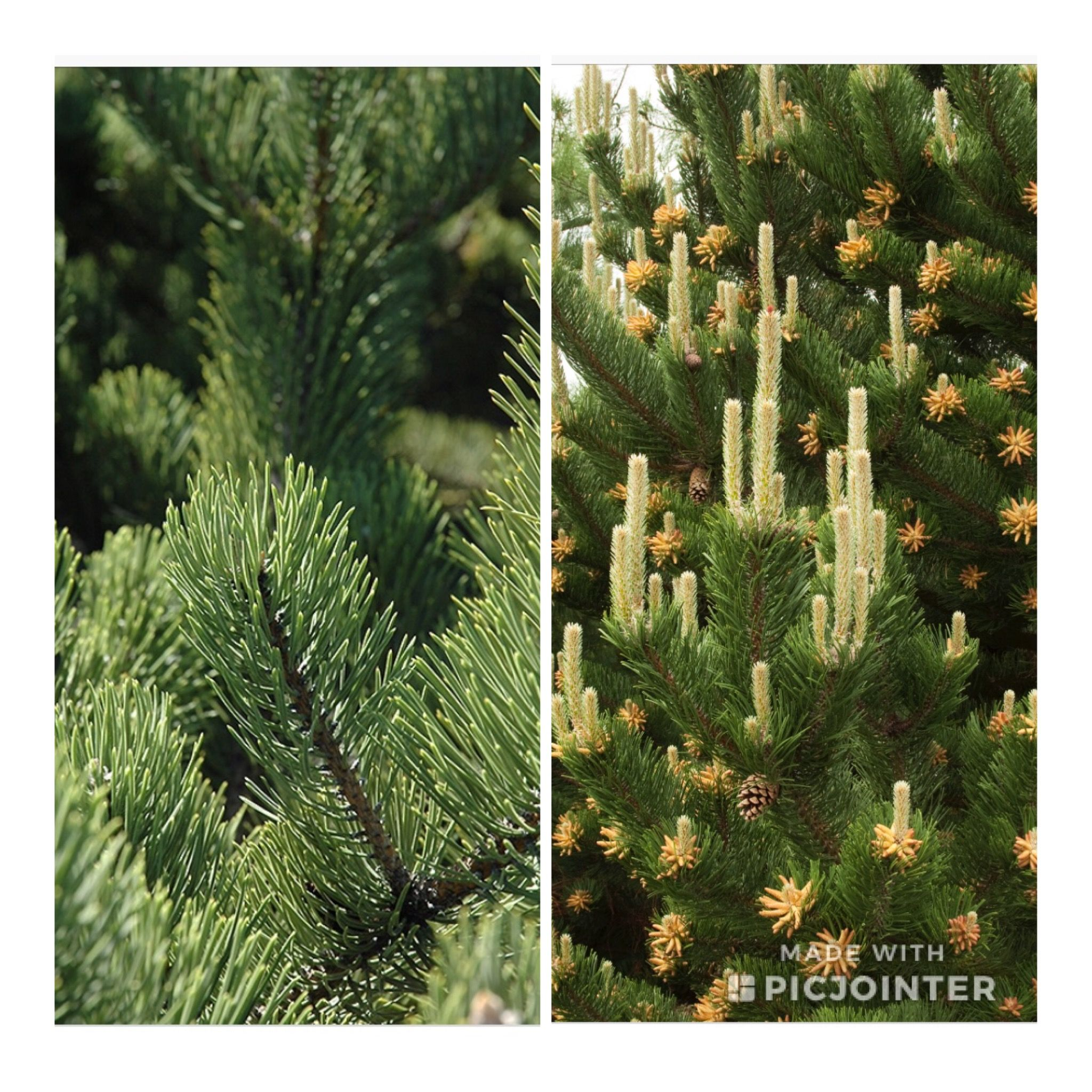 Pin D Oregon Couleur pin on our lovely trees