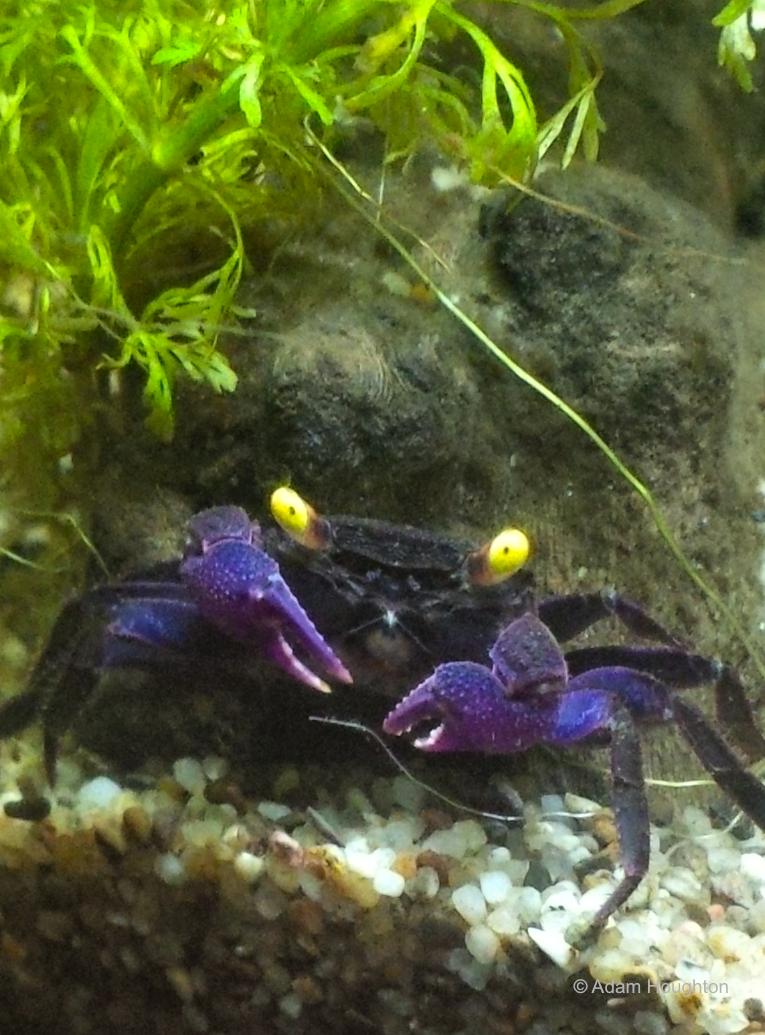 My own vampire crab | Fish, Underwater life