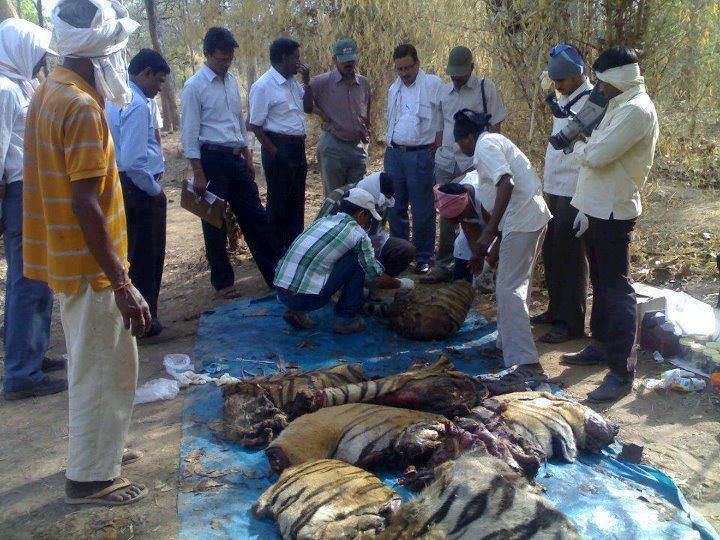 On May 18, this tiger was found cut into pieces by poachers believed to be of Bahelia community of Katni, Madhya Pradesh.  They took with them the head and paws of the tiger and had left the remaining body.
