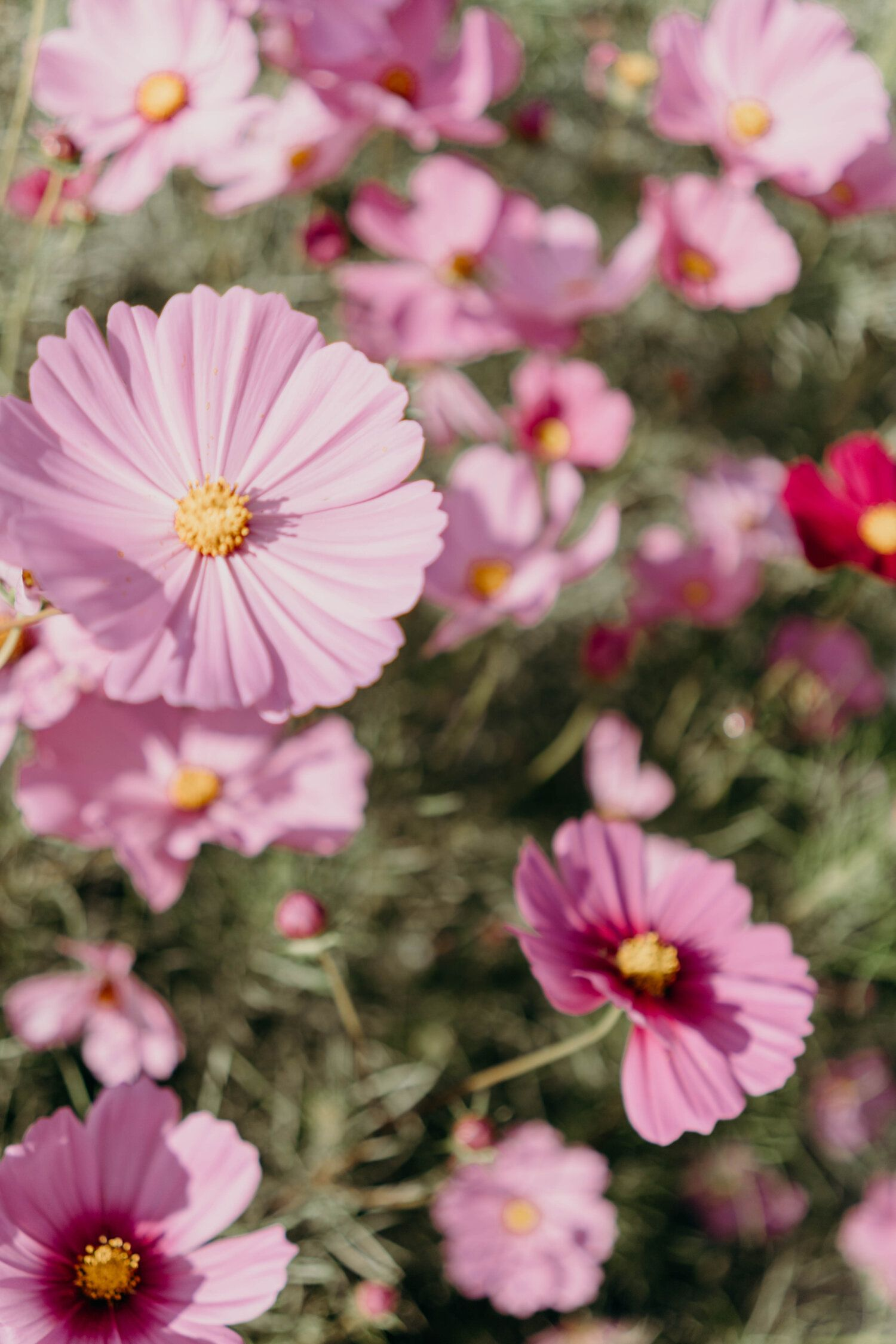 These Days Flower Festival Cosmos Flowers Fall Flowers