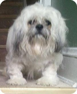 Virginia Beach Va Lhasa Apso Shih Tzu Mix Meet Buddy A Dog For Adoption Lhasa Apso Pets Dogs