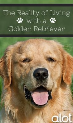 The Reality Of Living With A Golden Retriever Dogs Golden