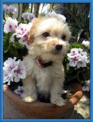 Adopt Dawson On Poodle Mix Dogs Maltese Poodle Mix Cute Animals