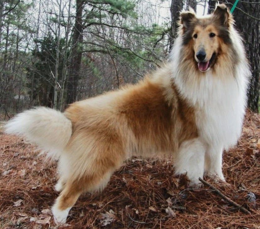Growing Up We Had A Sable Collie Beautiful Gentle And So Smart